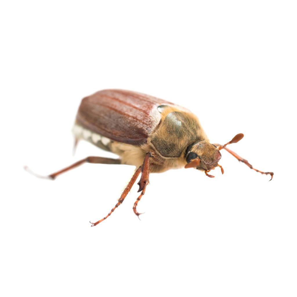 カーペットにいる茶色い虫の正体とは?その駆除方法と対策を紹介 ...